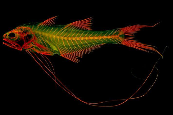 Rot gefärbte Skelette, wie von diesem Fadenflosser der Art Pentanemus quinquarius, fluoreszieren unter einer bestimmten Wellenlänge ...