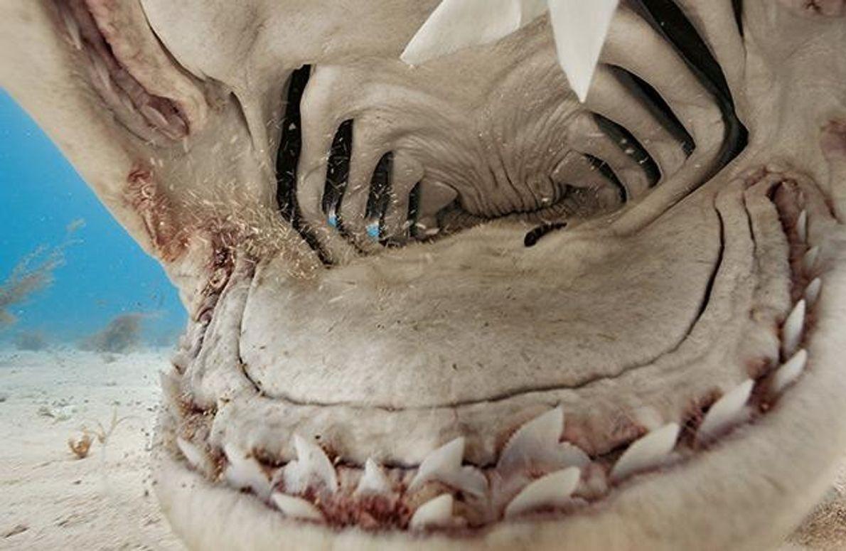 Kiefer und Zähne des Tigerhais sind dazu konstruiert, Schildkrötenpanzer zu zermalmen. Wenn er es mit einem …