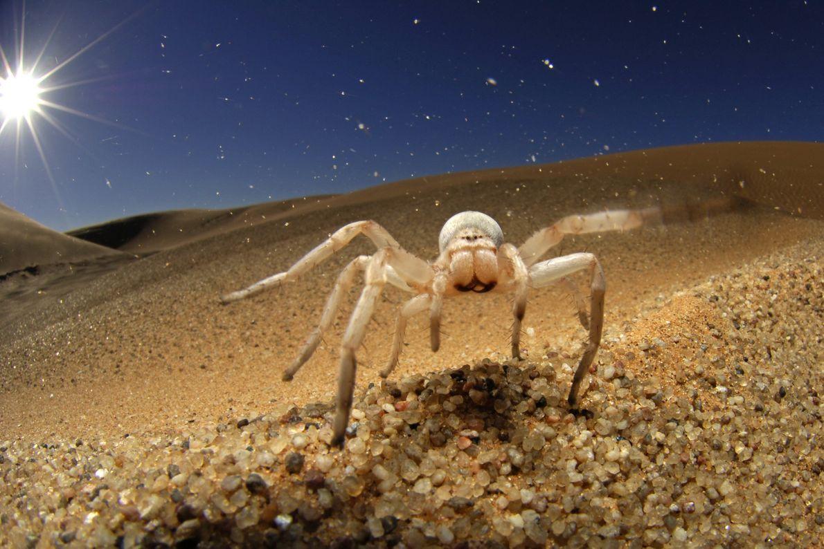 White Lady (Leucorchestris arenicola)