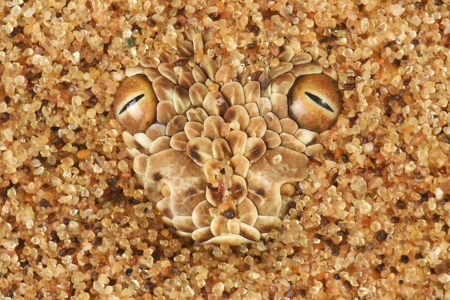 Diese Zwergpuffotter mit ihren stecknadelkopfgroßen Augen ist für das ungeübte Auge unmöglich zu erkennen. Sie ist ...