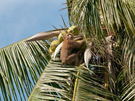 Thailand: Affen schuften für die Kokosernte