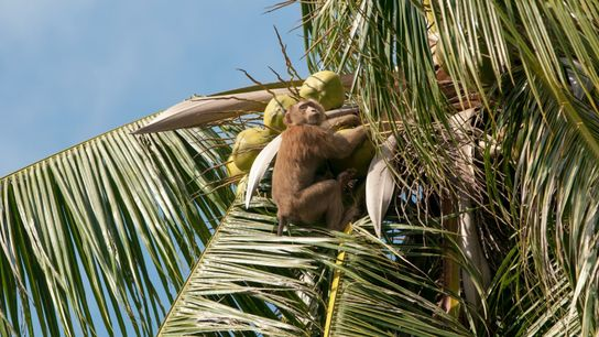 macaques-coconut-milk-03