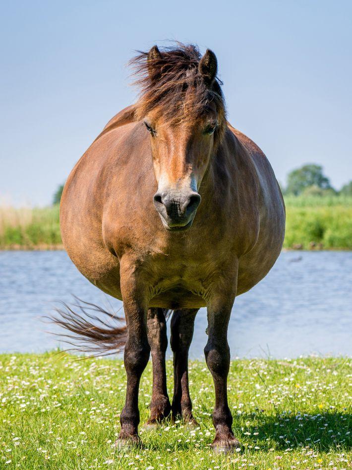 Trächtiges Pferd
