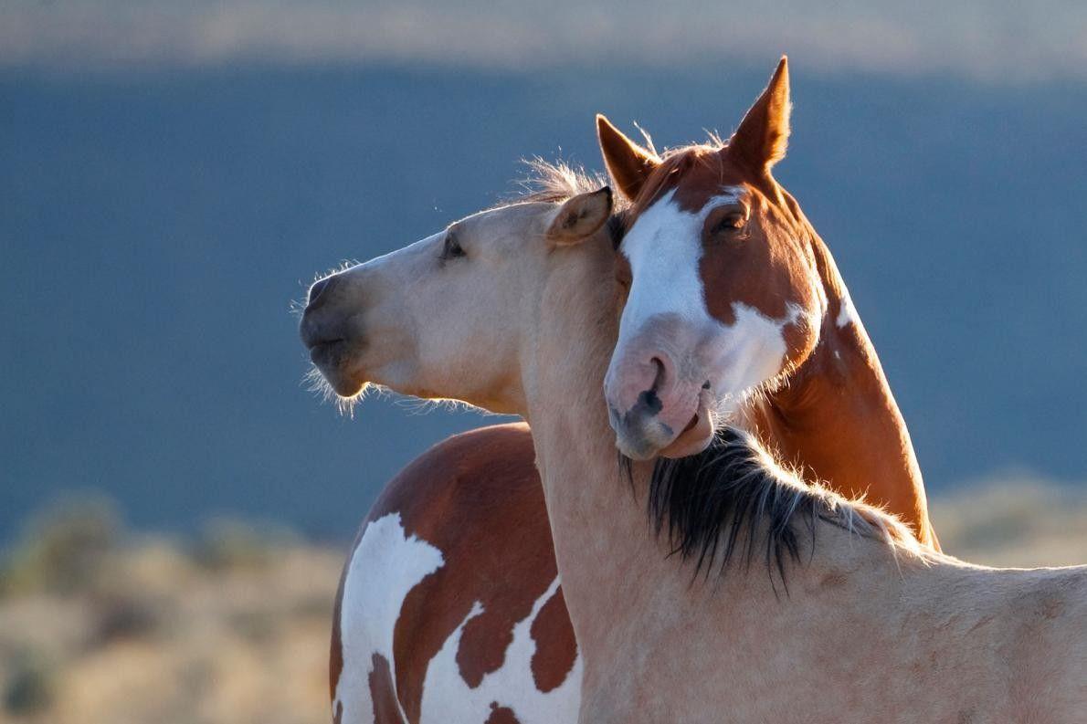 HUFTIERROMANTIK Zu dem Werbeverhalten von Pferden gehört es, dass die Hengste und Stuten aneinander schnüffeln, knabbern, wiehern ...