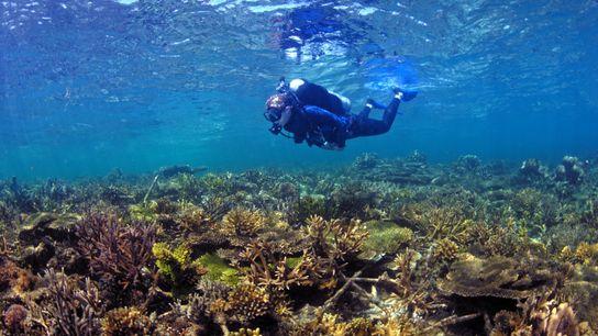 Ein Taucher erkundet die komplexe und wunderschöne Unterwasserlandschaft eines restaurierten Korallenriffs.