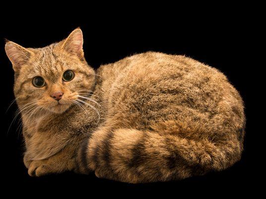 Wüstenkatze im polnischen Wald: Knochen liefern Hinweise auf Domestikation der Katze
