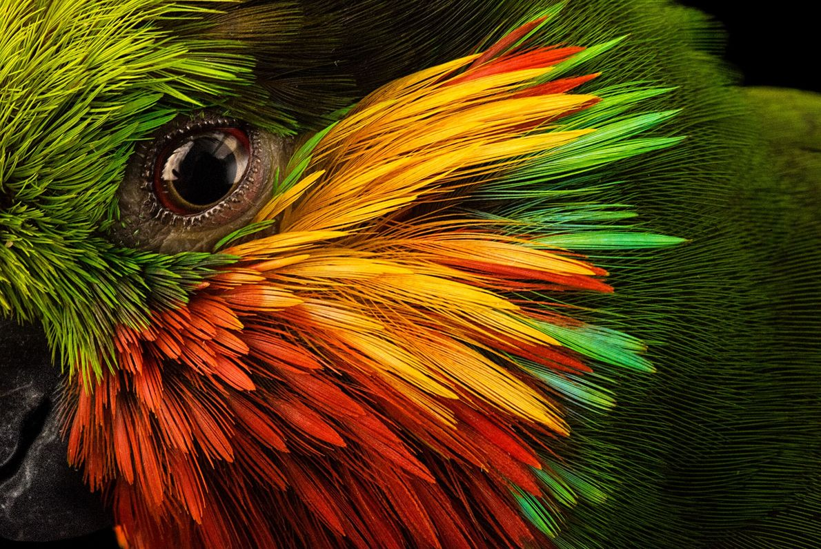 Kräftige Farben umrahmen das Auge eines Edwards-Feigenpapageis