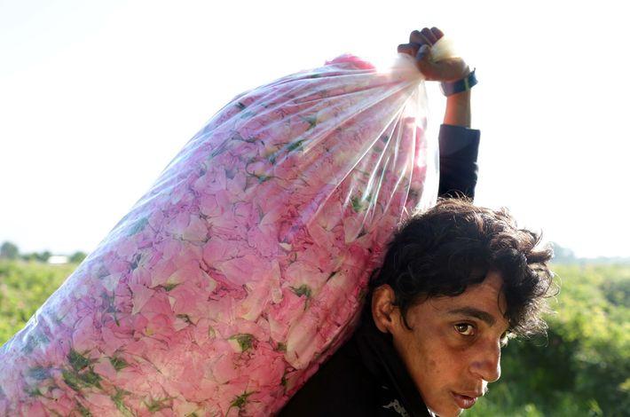 Stefka Todorova trägt einen Sack Rosen zur Waage.