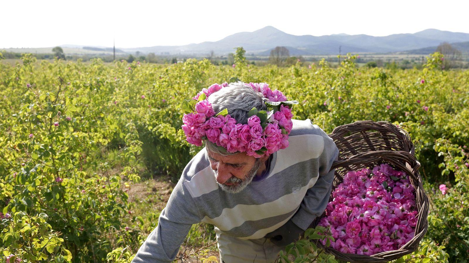 Yonko Yonkov erntet Rosenblüten in seinen Gärten in Osetenovo. Die Ernte beginnt für gewöhnlich bei Sonnenaufgang.