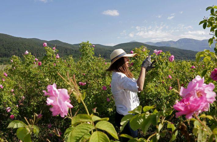 Silvia Yonkova pflückt in den Gärten ihrer Familie im bulgarischen Osetenovo Rosen. Die Rosenernte beginnt für ...