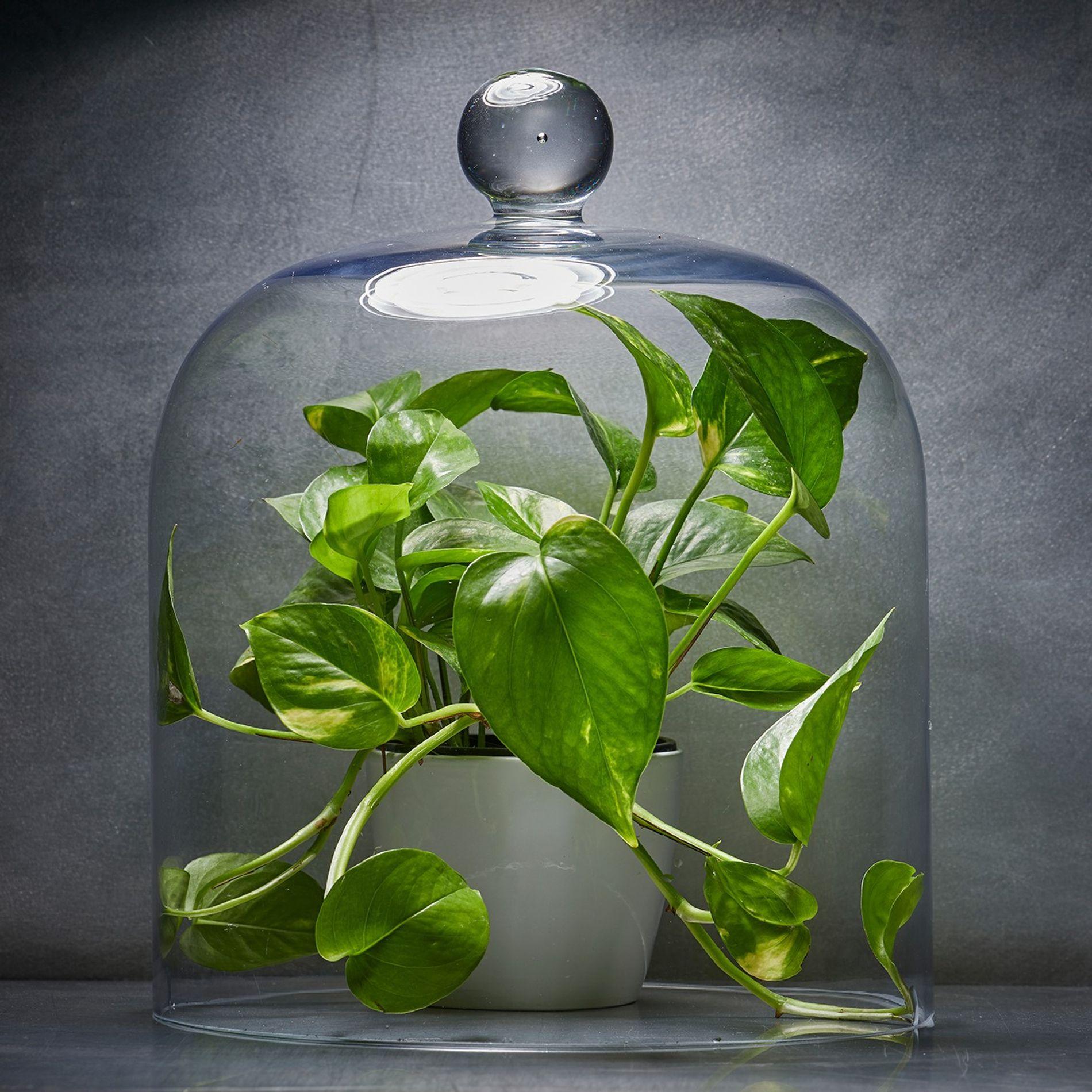 Indoor Gardening wird immer beliebter. Viele beliebte Zimmerpflanzen werden Kunden als gute Möglichkeit verkauft, die Zimmerluft ...