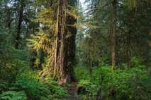 Wälder wie Hall of Moses im Olympic National Park des US-Bundesstaates Washington sind wichtige Kohlenstoffsenken – ...