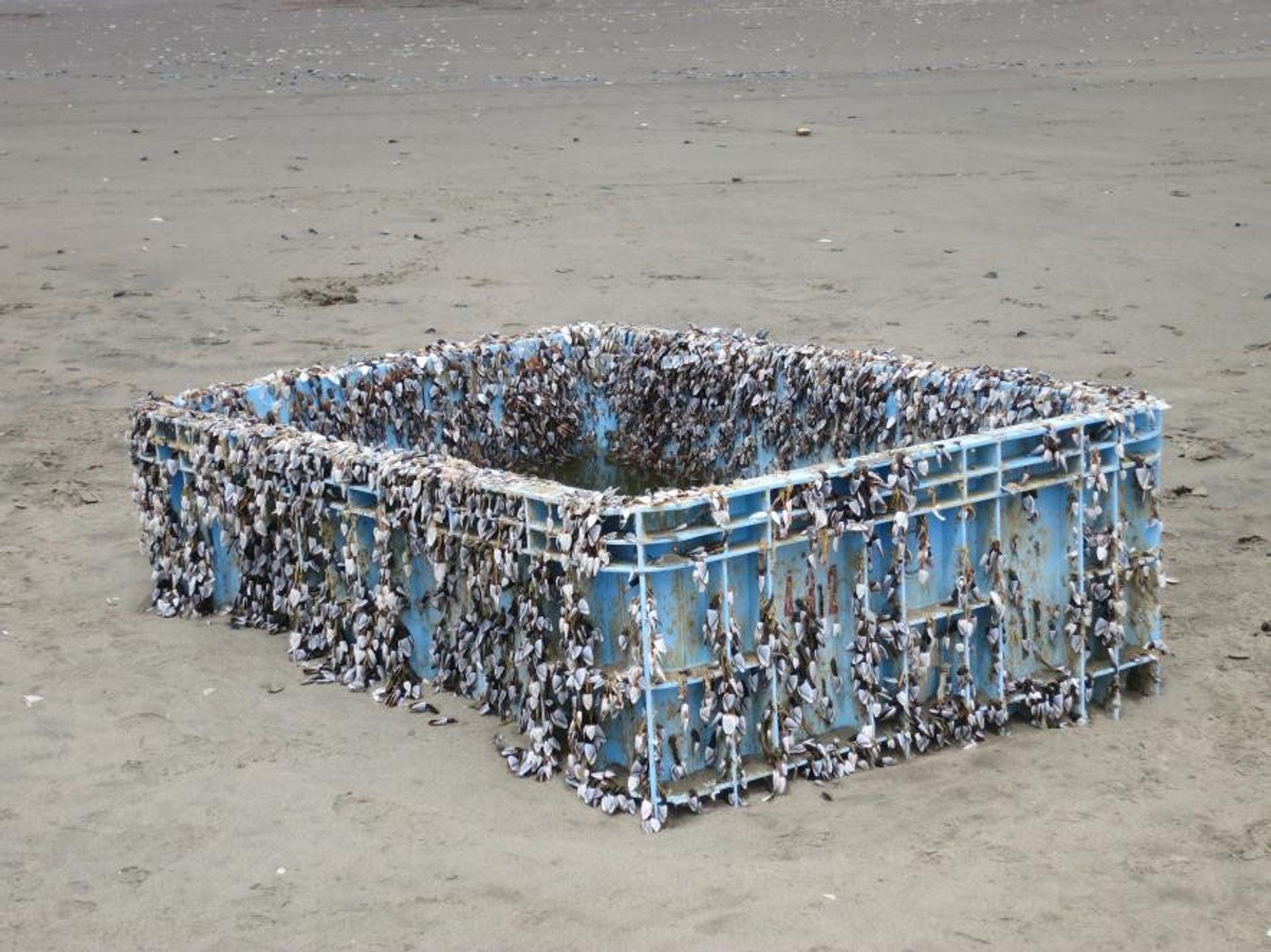 Rankenfußkrebse der Art Lepas anatifera hängen wie knotige Seile an einer Plastikkiste, die 2014 an den Strand von San Francisco gespült worden war. Sie war eines der zahllosen Teile, die nach dem japanischen Tsunami im Jahr 2011 den Pazifik überquerten.