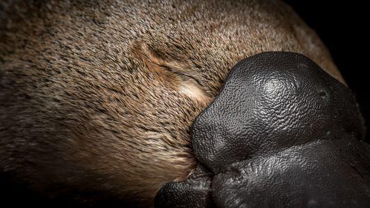 Galerie: Die Bedrohung für Schnabeltiere wächst