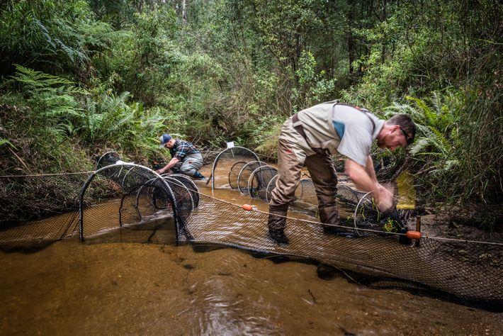 Josh Griffiths und der Forscher Farley Connelly legen Netze aus, um Schnabeltiere zu fangen. Nach Sonnenuntergang ...