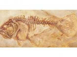 Der fossile Plattfisch Heteronectes chaneti schließt eine Beweislücke in der Evolutionstheorie: Sein linkes Auge war erst ...