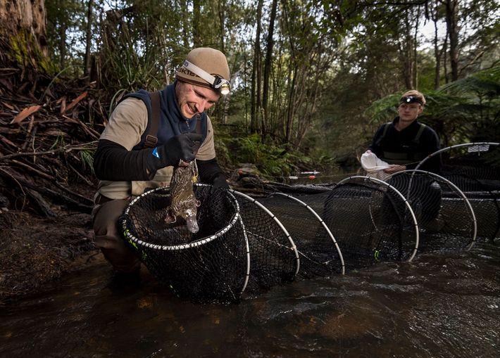 Schnabeltierforscher Joshua Griffiths (links) befreit mithilfe von Samuel Bell ein Schnabeltier aus einem Netz im McMahons ...