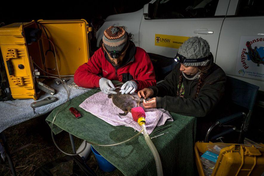Gilad Bino (links) und Tahneal Hawke, beide Mitarbeiter der Platypus Conservation Initiative der University of New ...