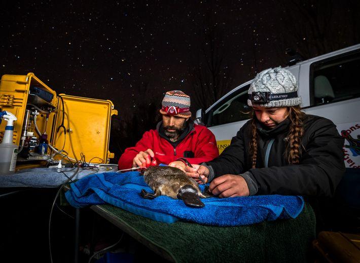 Gilad Bino und Tahneal Hawke kleben einen temporären Funksender an den Schwanz eines Schnabeltierweibchens.