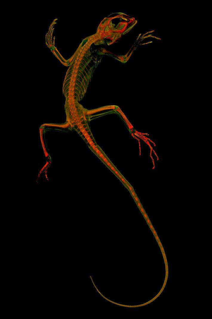 Wirbeltierforscher nutzen diese Bilder wie dieses von einem leguan, um zu erforschen, wie sich Tiere entwickelt ...