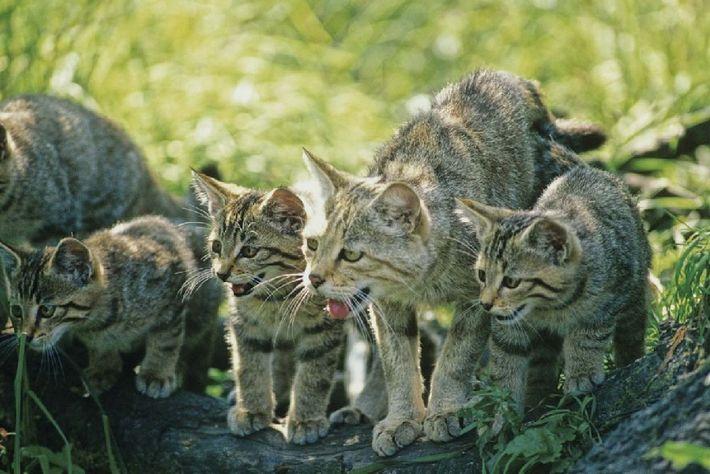 Die Wildkatze und ihre Jungen finden ungestörten Lebensraum am Grünen Band.