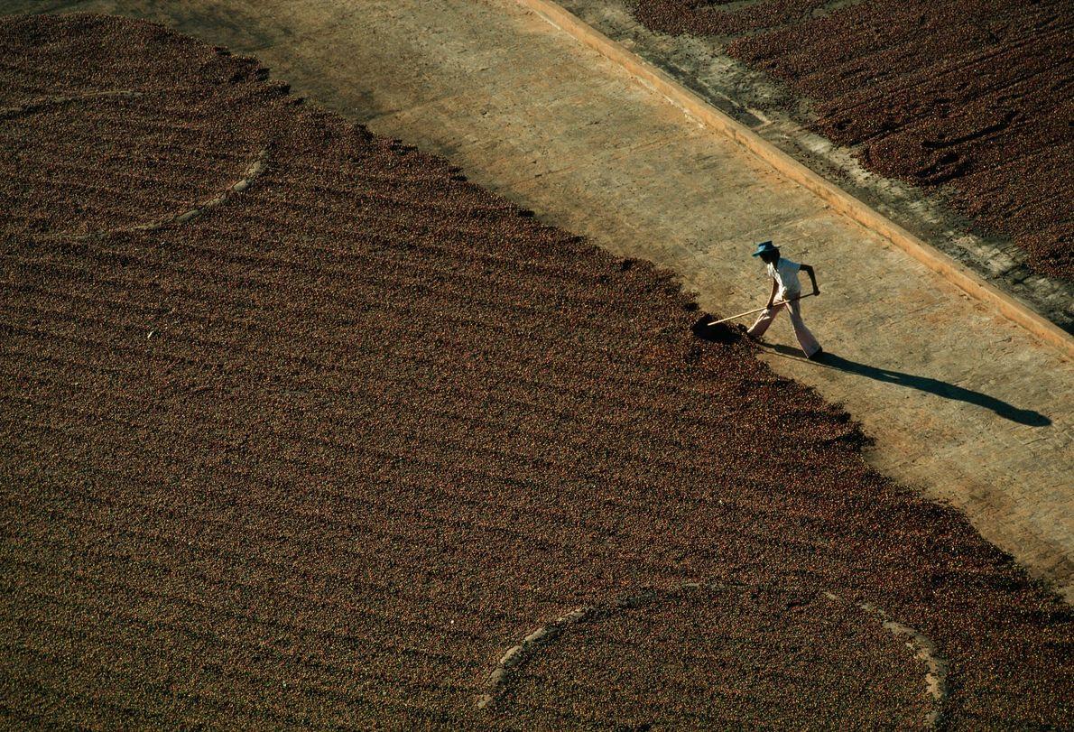 Kaffeekirschen trocknen auf einer Plantage in Brasilien
