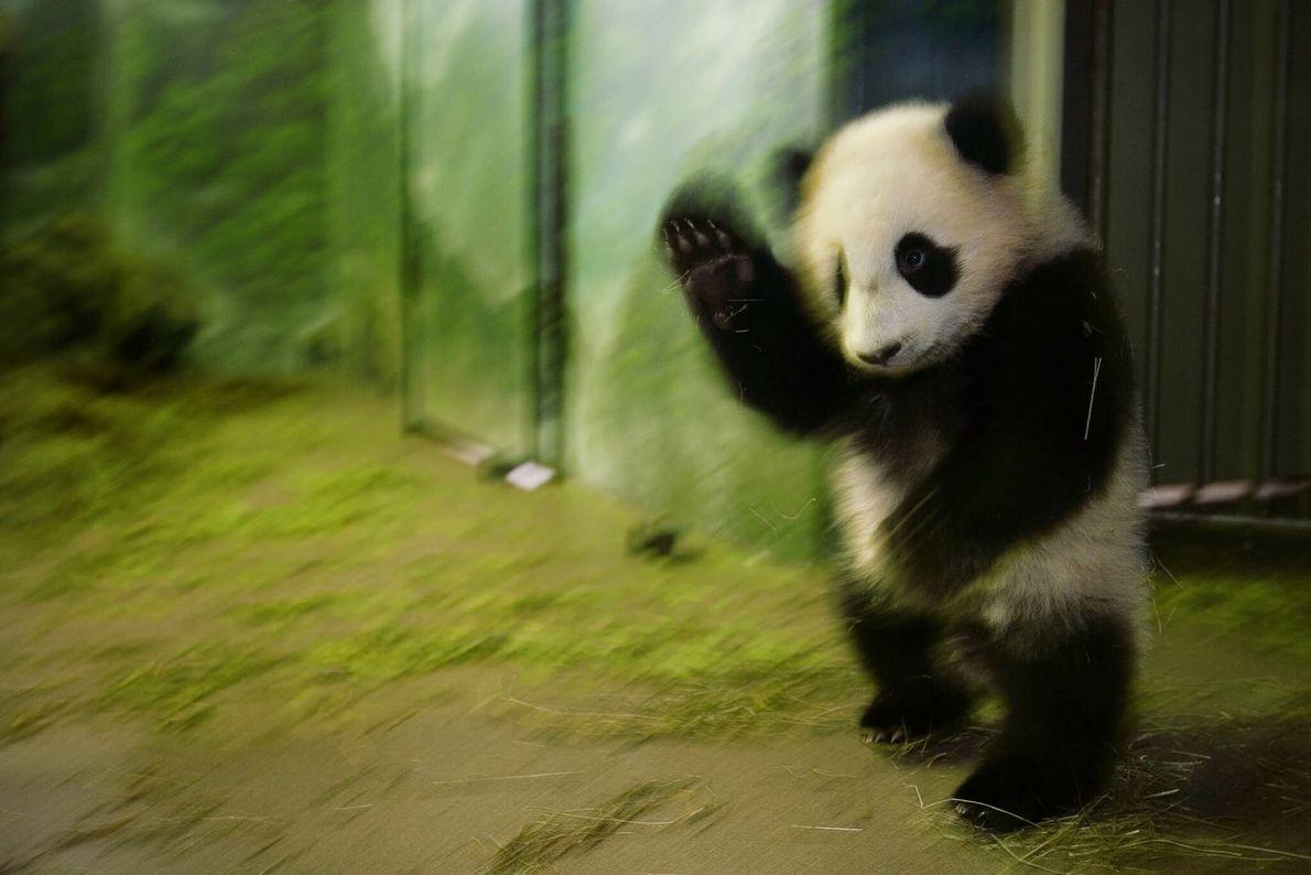 Tai Shan der Panda