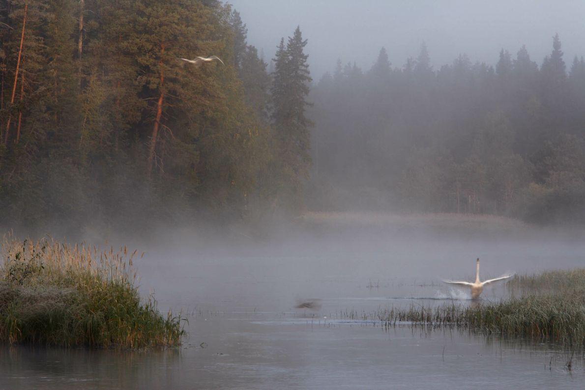 Nebelige Flusslandschaft mit Schwan
