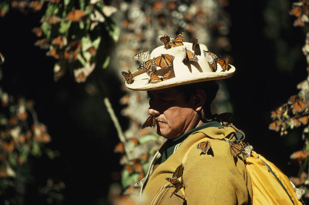 Monarchfalter rasten auf einem Forscher