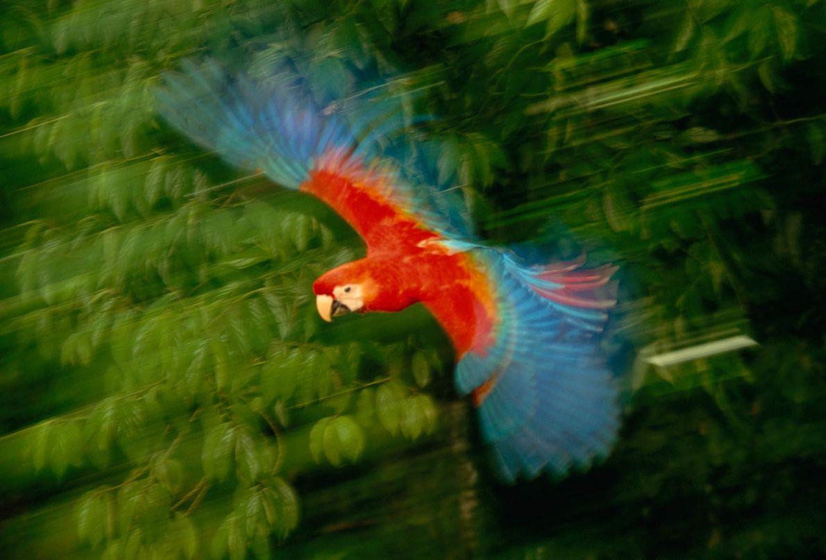 Erster Flug eines jungen Scharlacharas