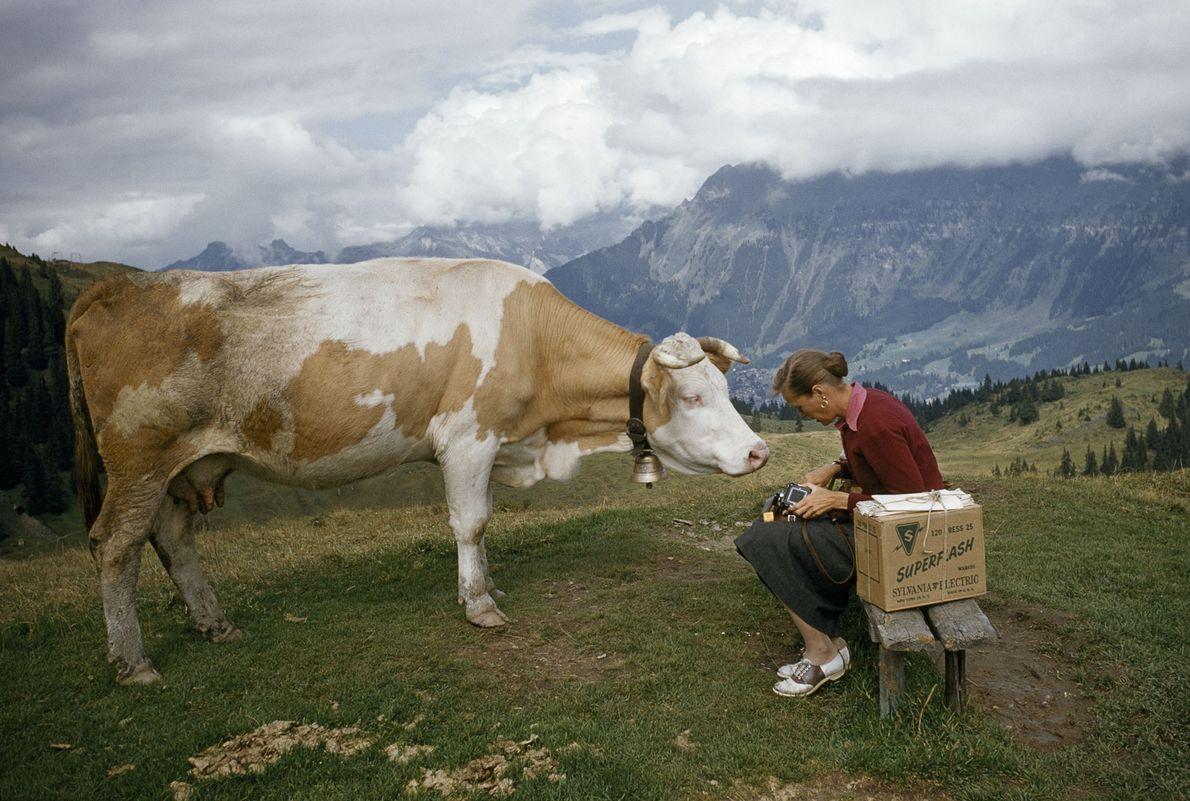 Kuh und Frau in den Schweizer Alpen