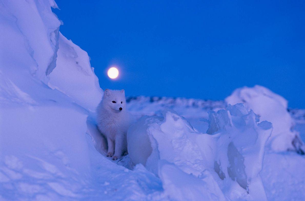 Polarfuchs unter Vollmond im Eis