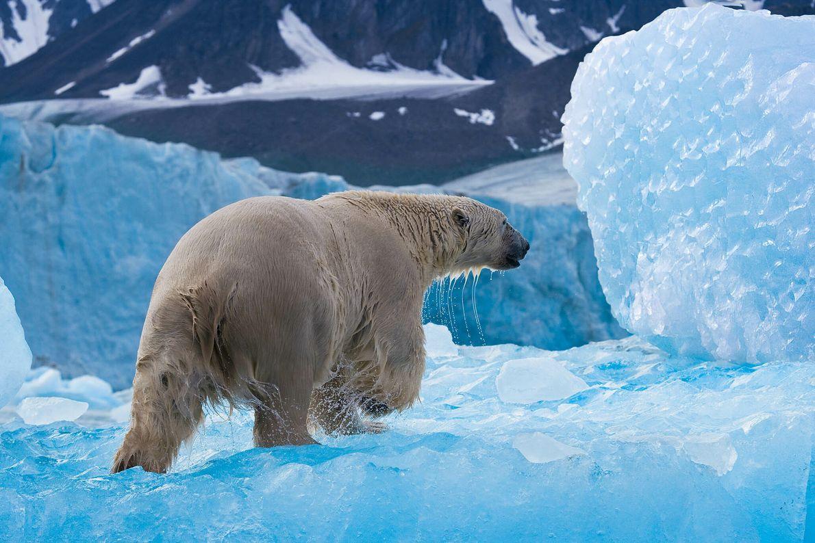 Eisbär läuft durch eine Eislandschaft