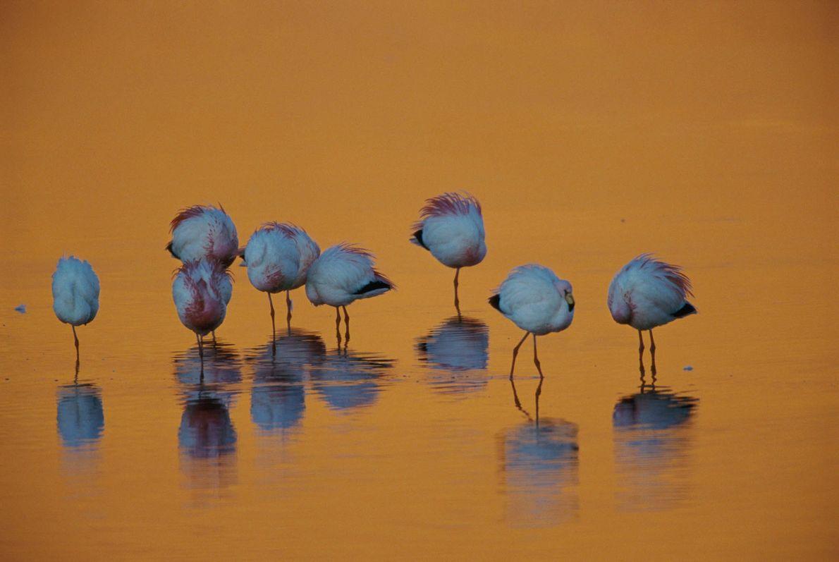 Flamingos in Atacama-Wüste