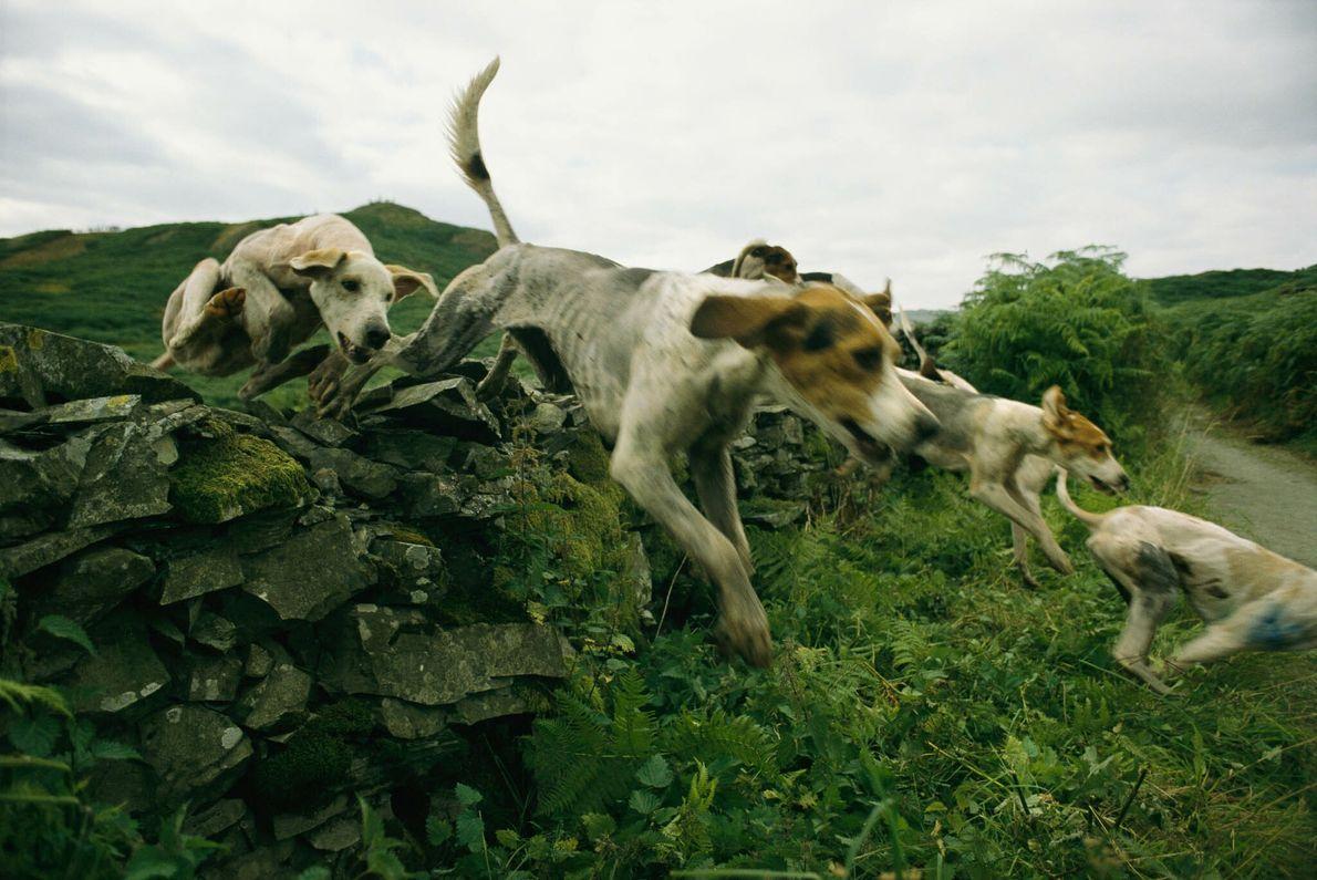 Jagdhunderennen in England