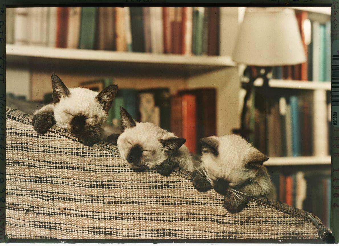 Drei schlafende Siamkätzchen