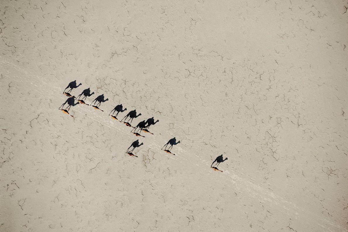 Kamele beim Assalsee, Dschibuti
