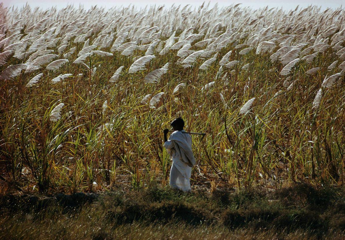 Zuckerrohrfeld in Pakistan