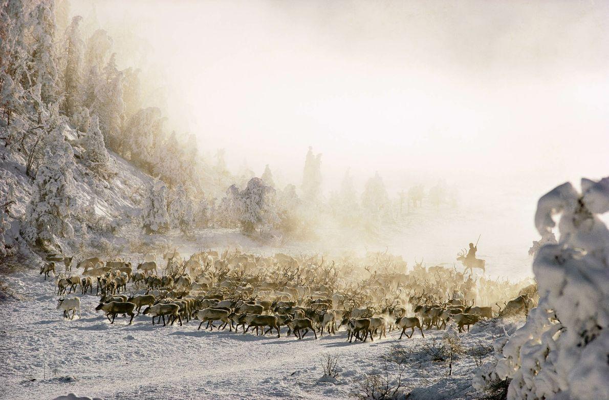 Rentiere in einer verschneiten Waldlandschaft