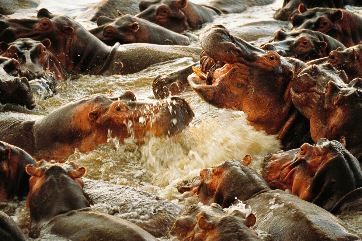 Aufgebrachte Flusspferde im Wasser