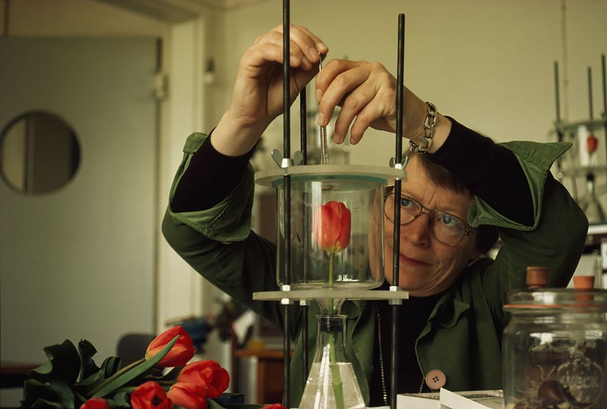 Tulpenforschung in den Niederlanden
