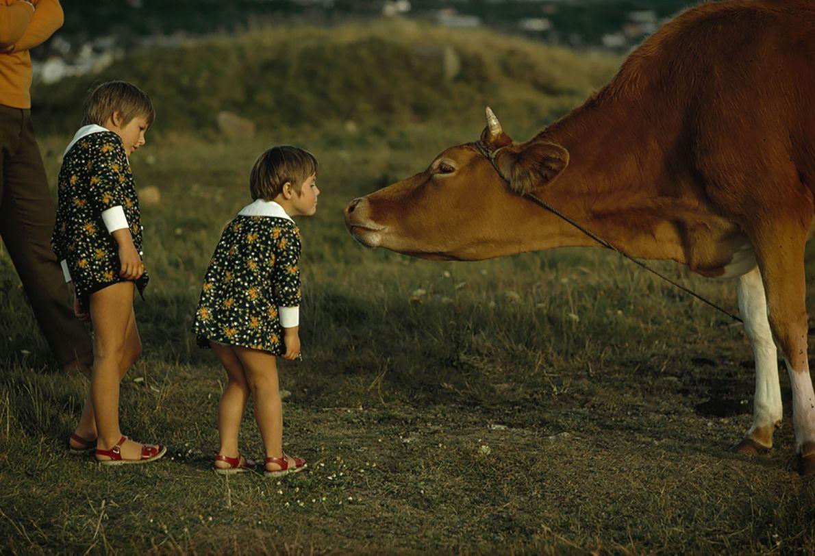 Ein Guernsey-Rind begrüßt zwei Kinder