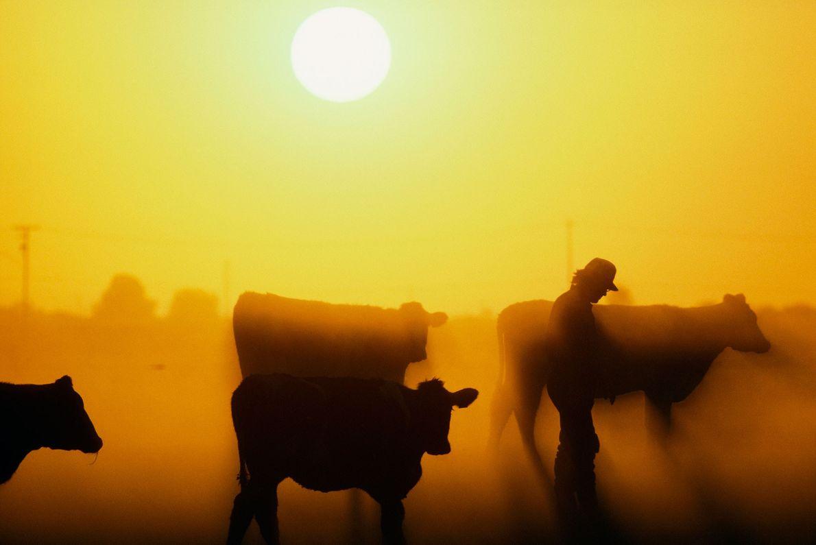 Michbauer und Kuhherde bei Sonnenuntergang