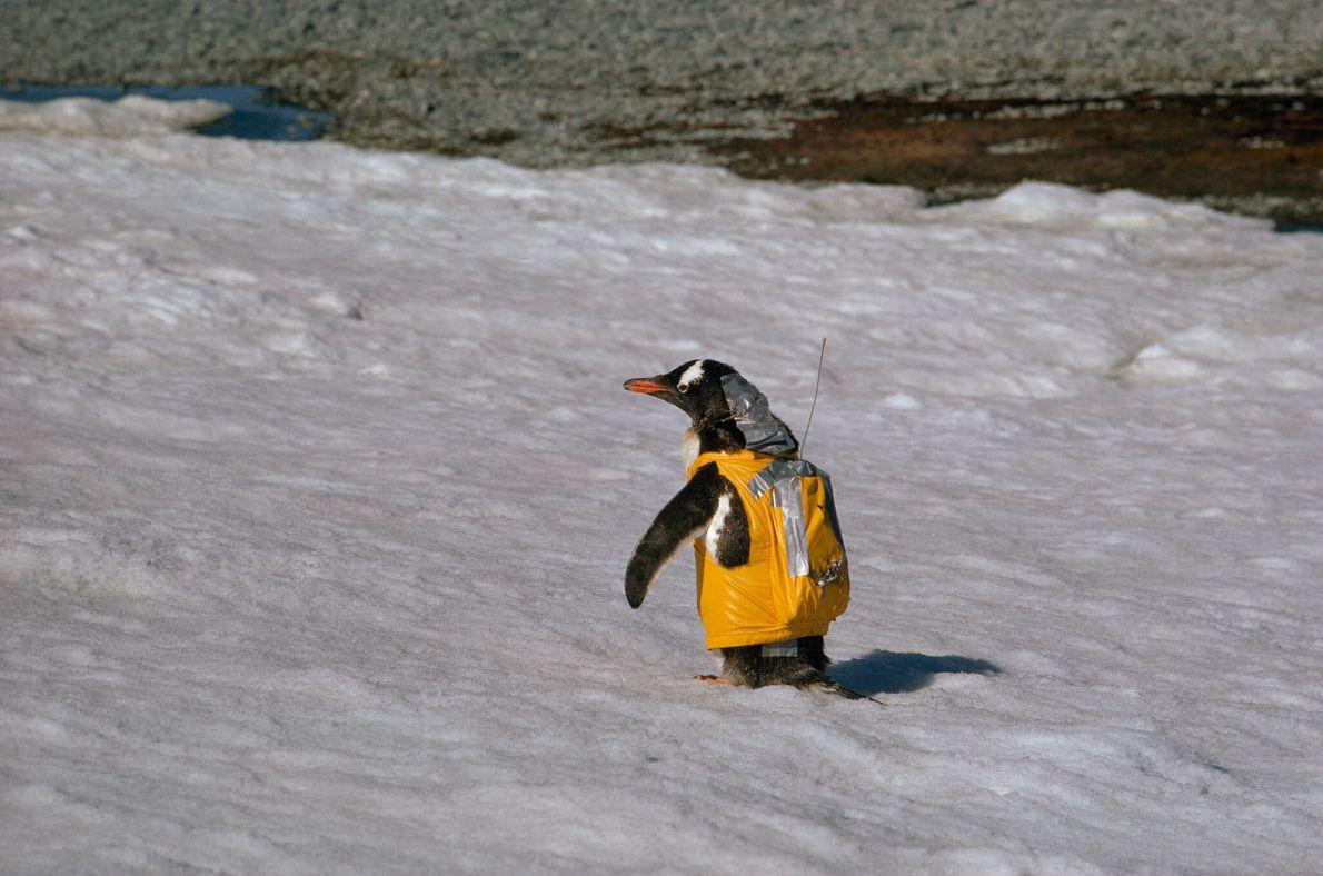 Pinguin in gelber Weste