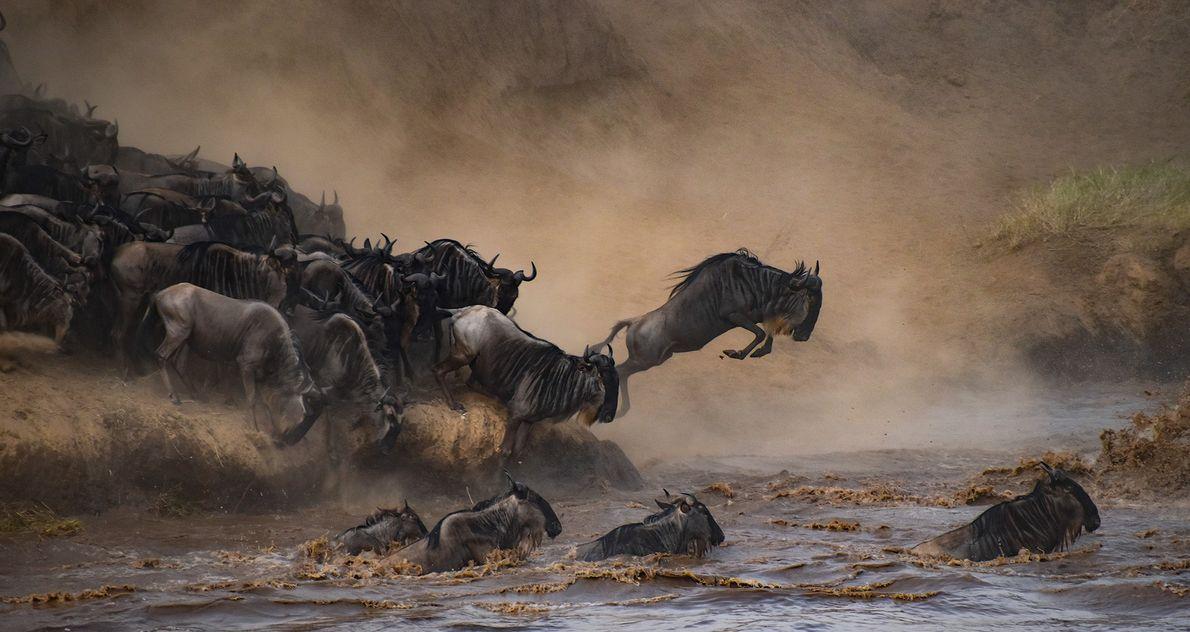 Gnus springen in einen Fluss