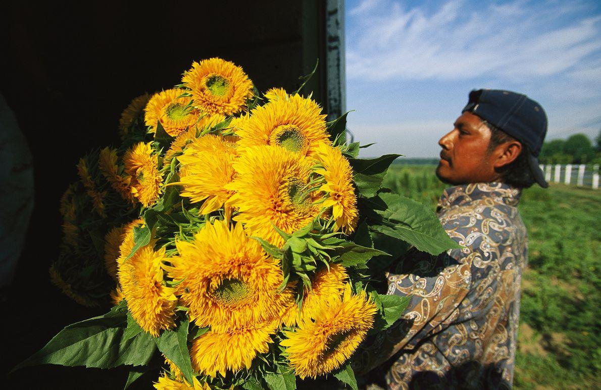 Frische Schnittblumen werden verladen
