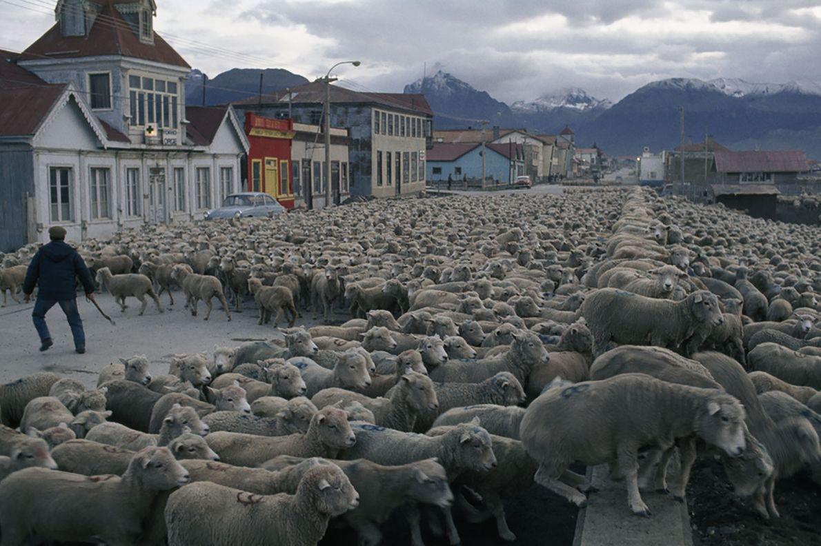 Schafe verschiffen
