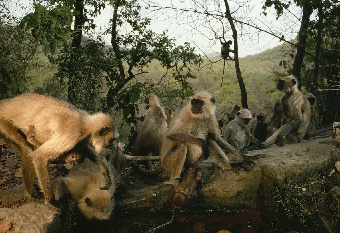 Indische Languren an einem Wasserloch