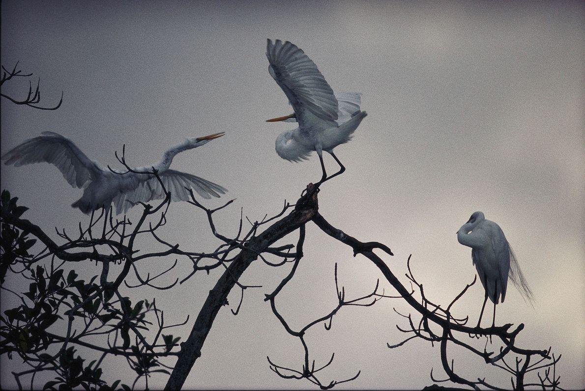 Drei Silberreiher in Gabun