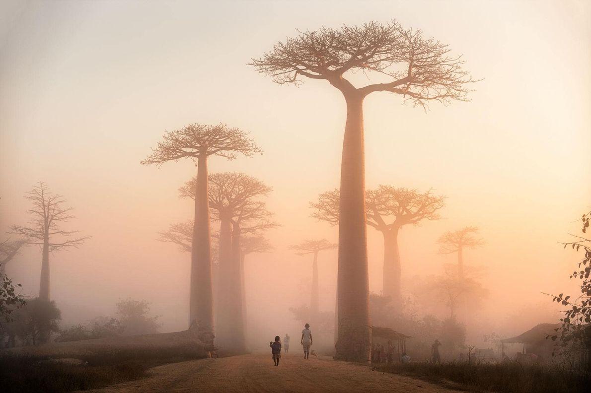 Über der Baobaballee in Morondova auf Madagaskar geht die Sonne auf. Dort wachsen mehr als 200 ...